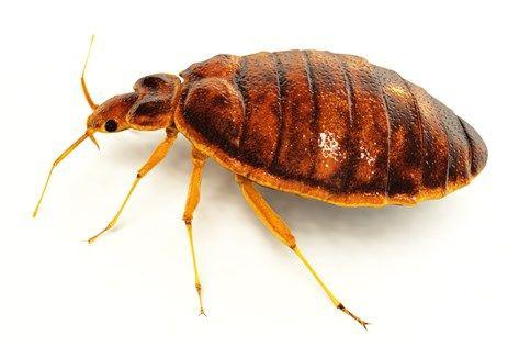 شكل حشرة البق